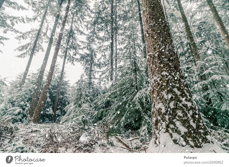 Snow storm in a forest with tall pine trees Sky Vacation & Travel Nature Christmas & Advent Plant Beautiful Green White Landscape Tree Forest Winter Mountain