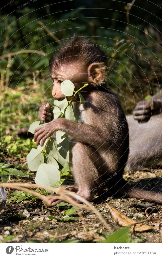 Baby monkey is having a good time Environment Nature Animal Summer Tree Leaf Foliage plant Virgin forest Forest Clearing Wild animal Pelt 1 Baby animal Eating