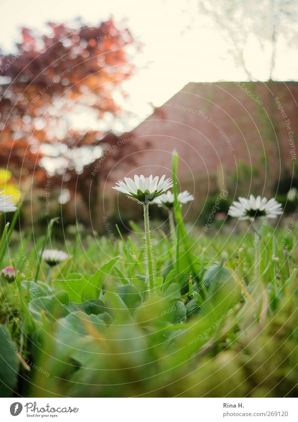 Daisies in the garden Living or residing Garden Spring Plant Tree Grass Blossoming Natural Green Beginning Idyll Nature Daisy Colour photo Exterior shot