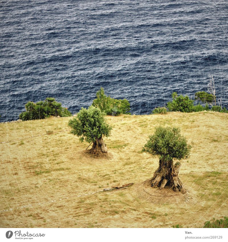 Eat sea olives Olive tree Nature Plant Earth Water Tree Leaf Field Waves Coast Ocean Mediterranean sea Growth Blue Green 2 Colour photo Subdued colour