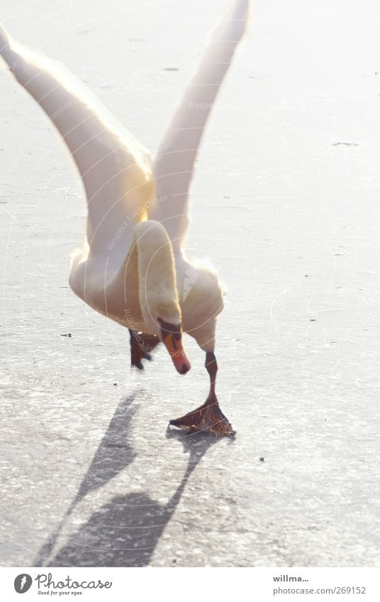 drunken angel Swan Ice Clumsy Slip Funny Queer fish final spurt Winter Frost Animal Grand piano Flying Walking Running Crazy White Effort Mobility Stagger