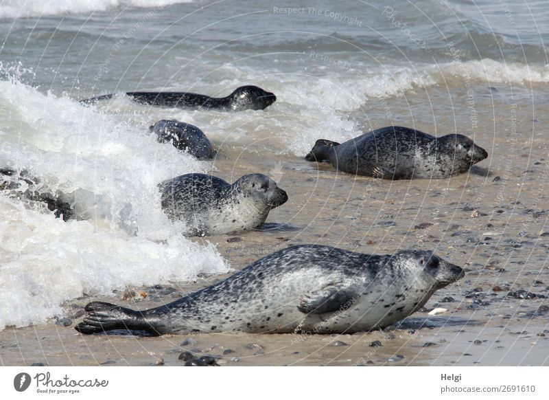 several grey seals lie on the beach and in the water on the dune of Helgoland Environment Nature Animal Water Summer Beautiful weather Coast Beach North Sea