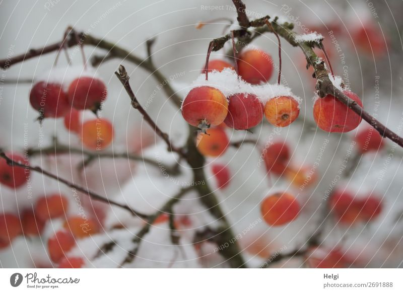 Nature Plant White Red Tree Calm Winter Life Environment Cold Natural Snow Small Garden Exceptional Orange