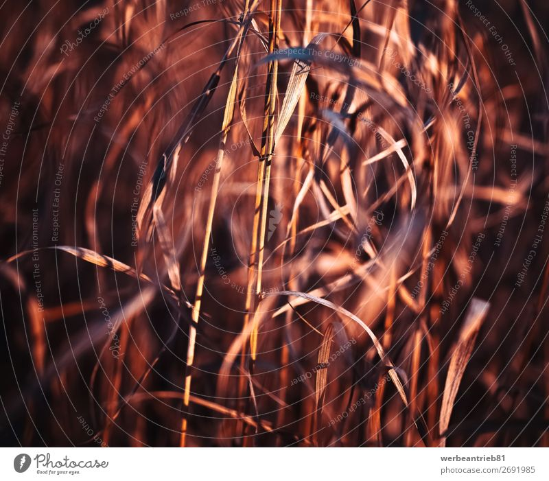 Blurry grass in red tones Summer Winter Nature Plant Spring Autumn Grass Meadow Forest Movement Growth Fresh Wheat toned image defocused non-urban scene