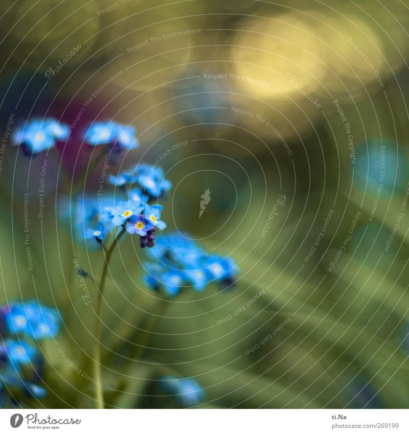 keep one's fingers crossed Spring Beautiful weather Plant Wild plant Forget-me-not Garden Blossoming Fragrance Glittering Small Blue Yellow Green Colour photo
