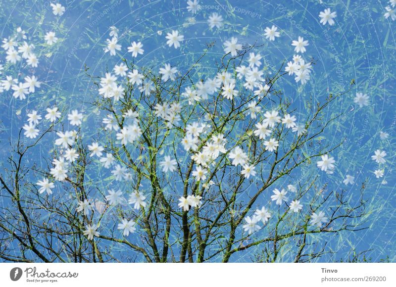 Sky Nature Blue White Green Tree Plant Flower Environment Spring Blossom Fresh Happiness Change Fragrance Double exposure