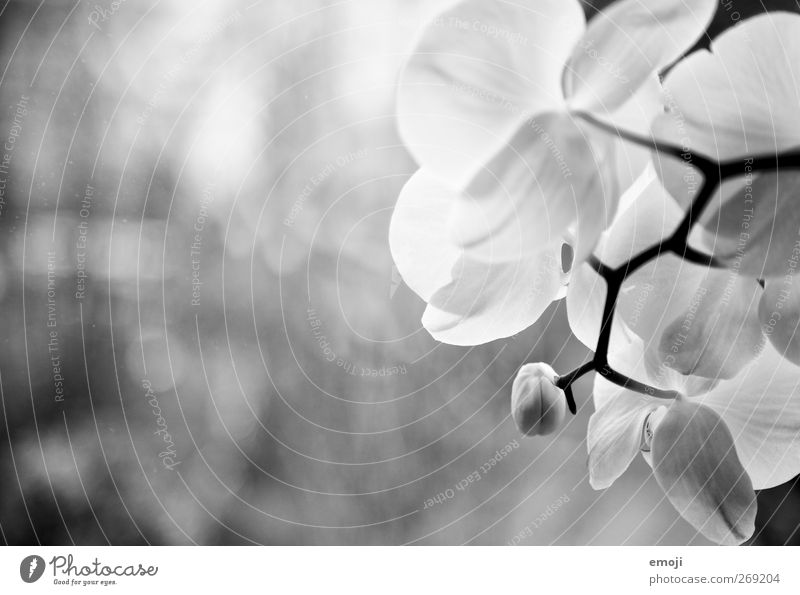 orchidacea Environment Nature Plant Flower Orchid Blossom White Black & white photo Exterior shot Close-up Detail Copy Space left Neutral Background Light