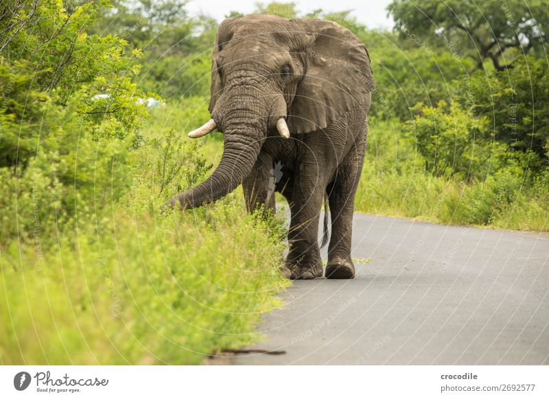# 845 Elephant Colossus Herd South Africa National Park Protection Peaceful Nature Trunk Mammal Threat extinction Ivory big game Big 5 Bushes Watering Hole Dust