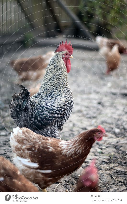 Animal Bird Group of animals Farm Pride Farm animal Superior Rooster Gamefowl Free-range rearing Chicken coop