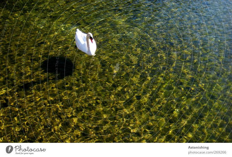 Swan in the lake Environment Nature Water Summer Weather Beautiful weather Warmth Lake Lake Lunz Animal Wild animal 1 Curiosity Blue Multicoloured Yellow White