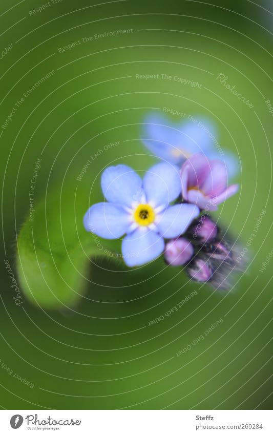just remember - Forget-Me-Not Forget-me-not romantic blossom Spring flower Memory inconspicuous Birthday Congratulations Poetic Bud Blossoming May