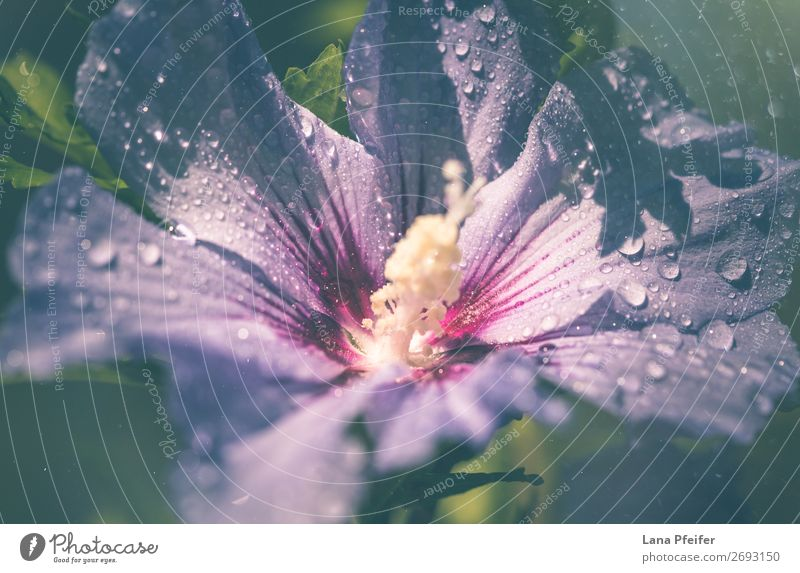 Close-up of Lila hibiscus blooming outdoors Environment Nature Landscape Plant Drops of water Summer Autumn Tree Flower Leaf Blossom Happiness Fresh Blue Violet