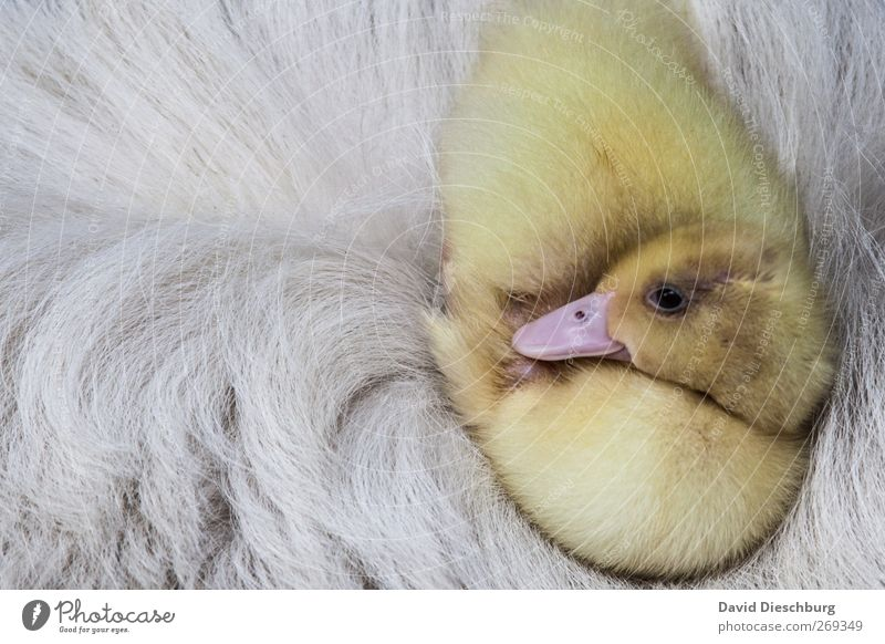 Soft bed Animal Farm animal Bird Animal face Pelt 1 Yellow White Warm-heartedness Beak Duck Goose Chick Sleep Relaxation Safety (feeling of) Cuddly Beautiful
