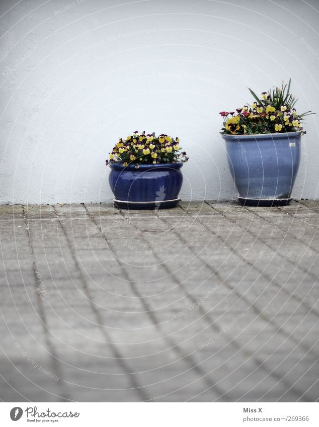Wall Decoration I Flower Leaf Blossom Pot plant Wall (barrier) Wall (building) Terrace Blossoming Fragrance Flowerpot Blue Pansy Colour photo Exterior shot
