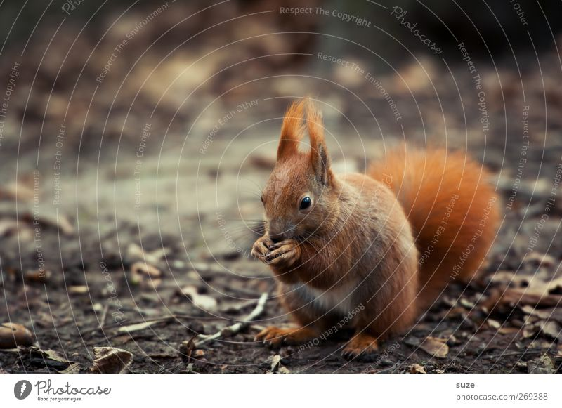 greed Environment Nature Landscape Plant Animal Autumn Pelt Wild animal 1 To feed Feeding Authentic Small Natural Cute Brown Red Love of animals Squirrel Rodent