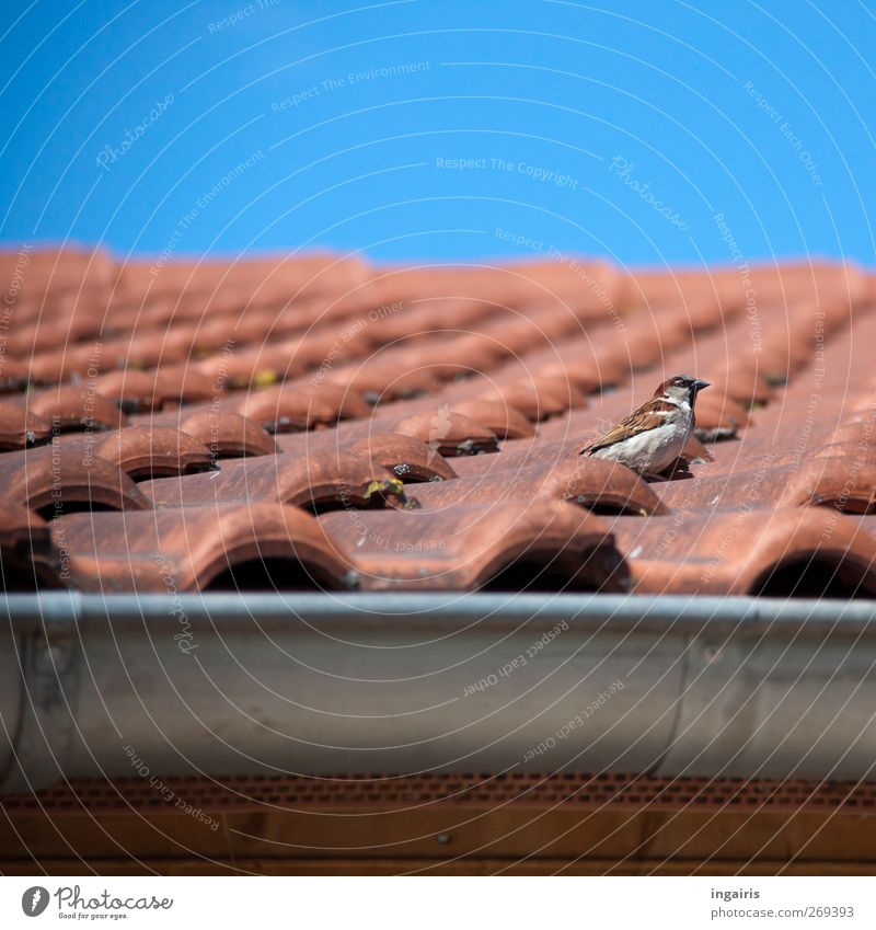 The home of a house sparrow Sky Cloudless sky Spring Summer House (Residential Structure) Building Facade Roof Eaves Roofing tile Tiled roof Rain gutter Animal