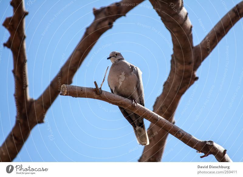 Sit & chill Cloudless sky Summer Beautiful weather Tree Animal Wild animal Bird Pigeon Animal face 1 Blue Brown Branch Colour photo Exterior shot Day Light