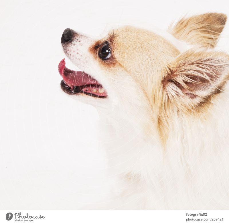 no cat Pet Dog Animal face 1 White Snout High-key Colour photo Studio shot Copy Space left Copy Space bottom