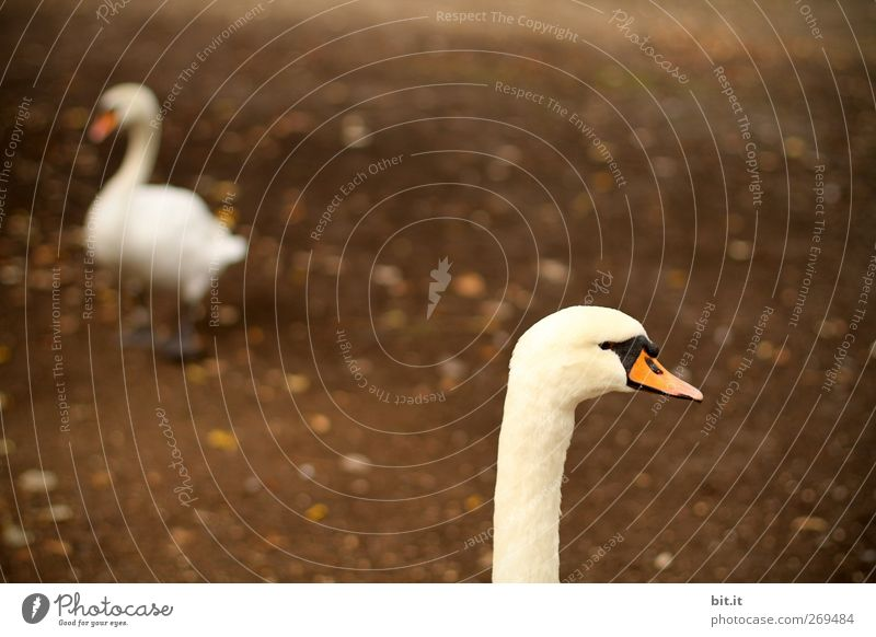 Why don't you slip down my throat...? Environment Nature Earth Animal Bird Swan 2 Pair of animals Rutting season Going Walking Stand Dark Brown White Loyalty