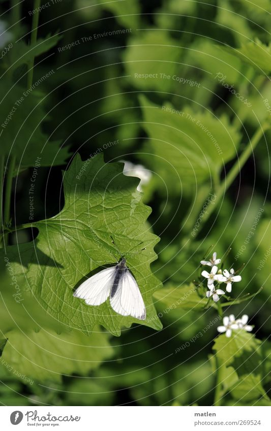 White Green Animal Leaf Blossom Wild animal Butterfly Sunbathing