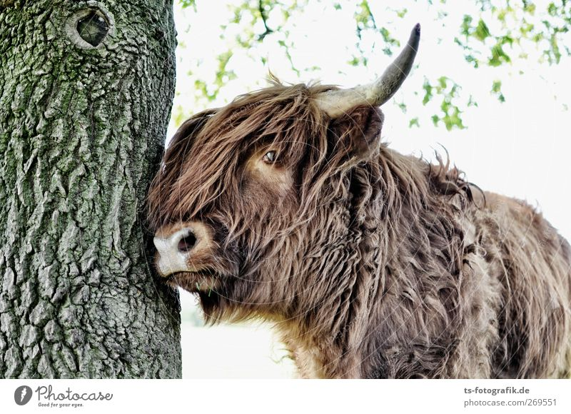 Dude, get out of the way! Agriculture Forestry Nature Sunlight Spring Summer Beautiful weather Plant Tree Animal Farm animal Cow Pelt Highland cattle Antlers