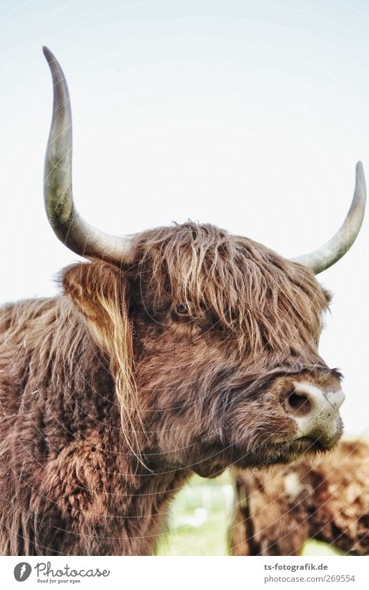 Horny babe Agriculture Forestry Environment Nature Animal Farm animal Cow Pelt Antlers Point Highland cattle Hair and hairstyles Bangs Wild animal 1 Dark