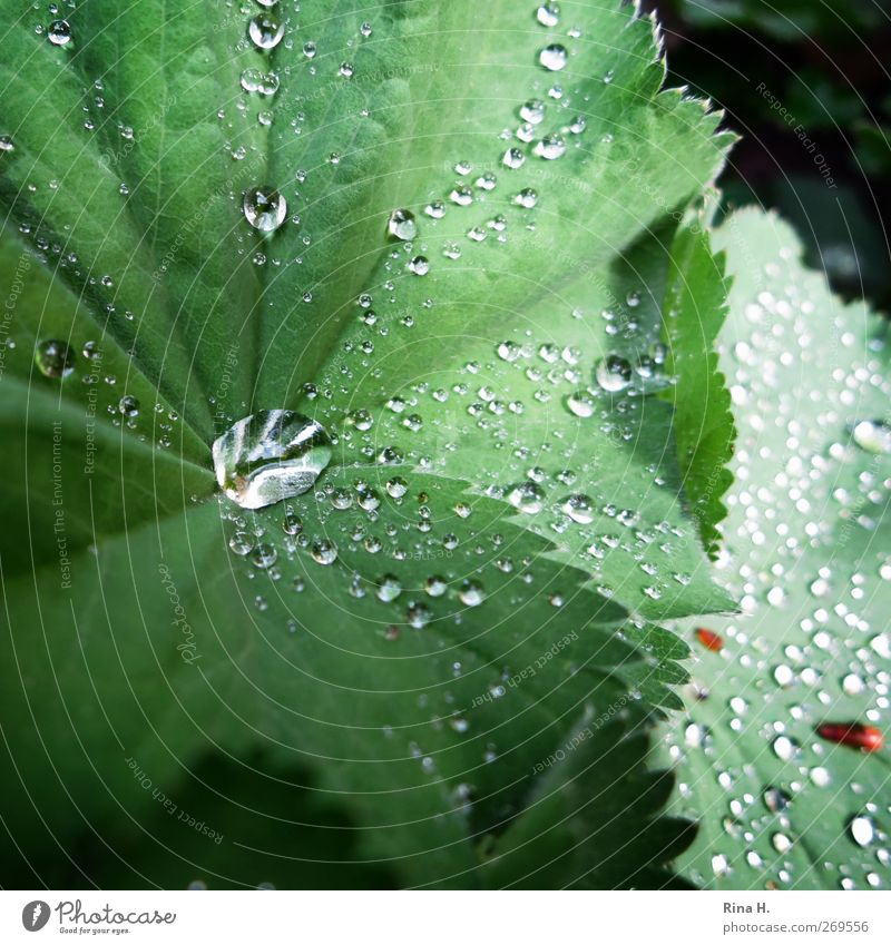 Nature Green Plant Flower Leaf Environment Spring Garden Rain Wet Fresh Alchemilla vulgaris