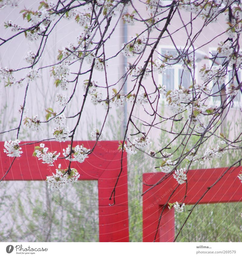 Nature White Green Red Plant House (Residential Structure) Window Spring Blossom Corner Cherry blossom Twigs and branches Cherry tree Size difference Size comparison