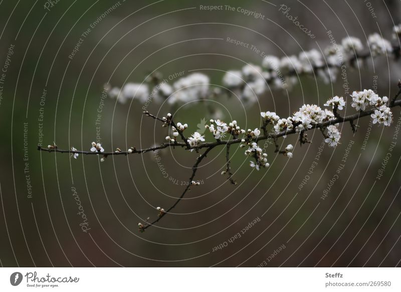 spring blossoms cherry blossom Cherry blossom Spring Flowering Twig Bud come into bloom Blossom Blossoming Decent Brown New Gray White Fine Esthetic New start