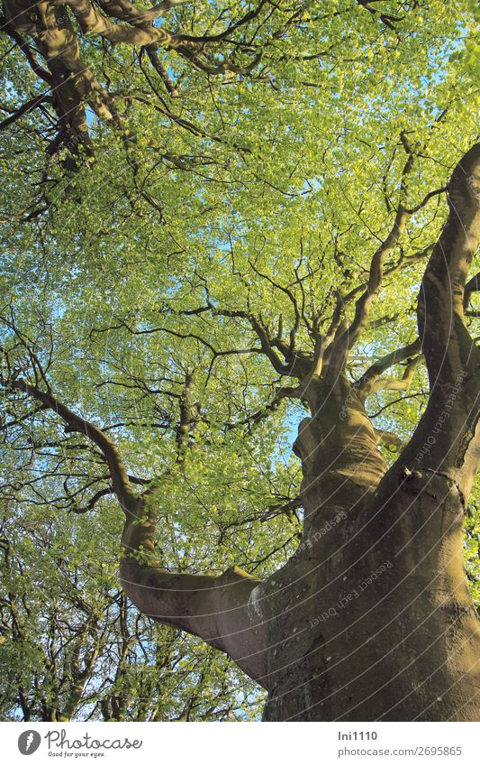 Beech in May Nature Plant Spring Tree Leaf Beech tree Garden Park Meadow Field Forest Blue Brown Yellow Gray Green Black Headstrong Leaf canopy Pea green