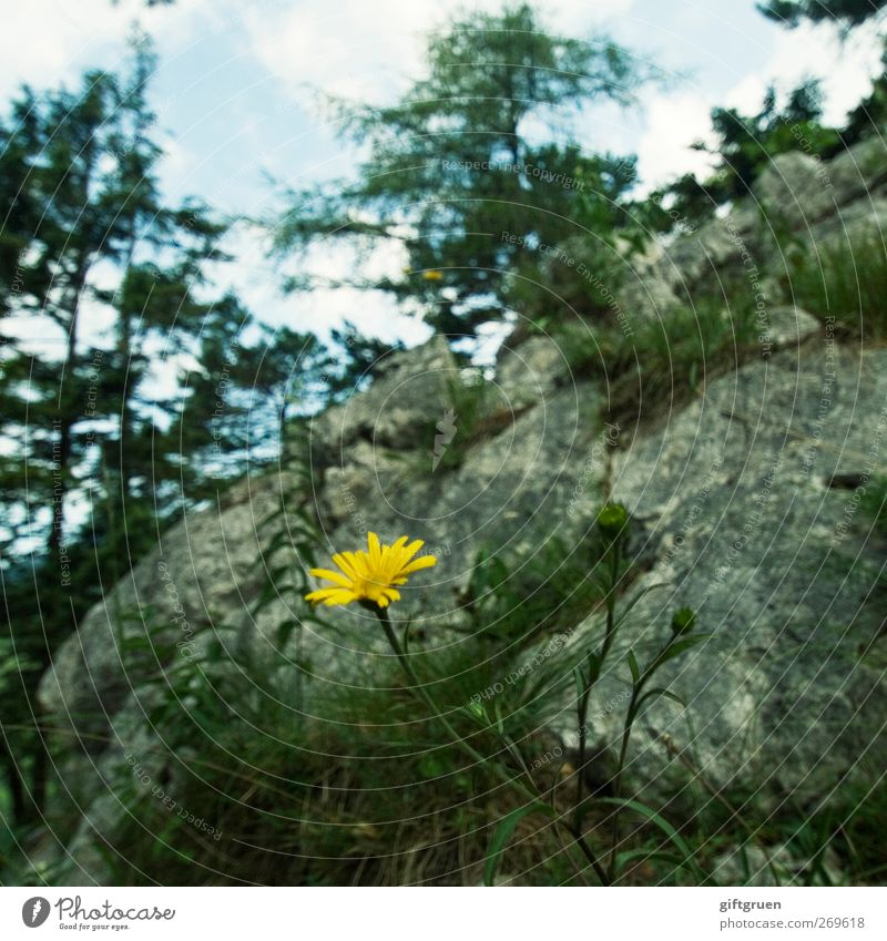mauerBLÜMCHEN Nature Plant Elements Sky Summer Beautiful weather Tree Flower Rock Mountain Growth Yellow Blossoming Stone Sparse Individual Wall plant Steep