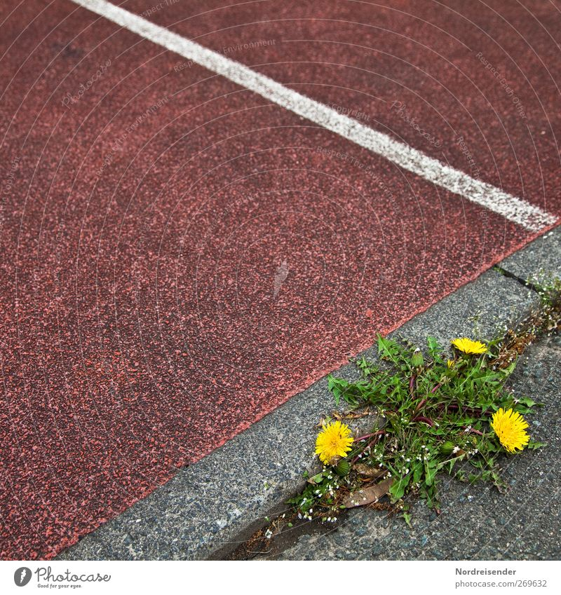 herb bed Sporting Complex Stadium Nature Plant Blossom Wild plant Lanes & trails Line Stripe Blossoming Yellow Gray Green Red Power Creativity Survive Dandelion