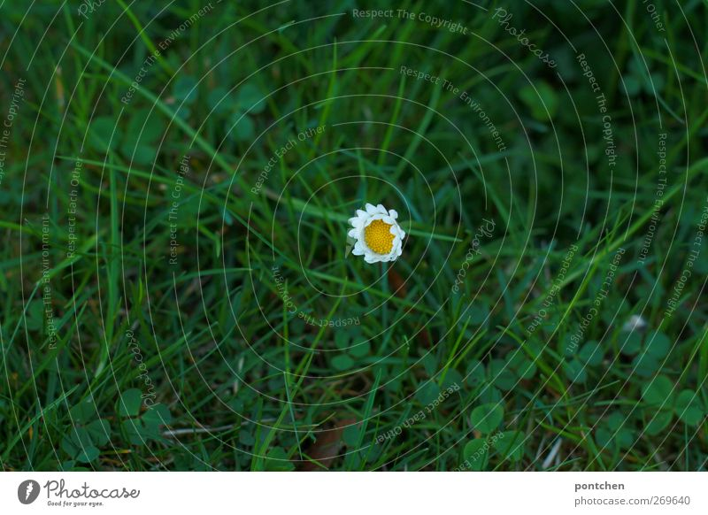Clovers and single daisies in the grass from above. Spring. Nature spring Grass bleed Meadow Blossoming Yellow green White Daisy Lawn Individual Colour photo