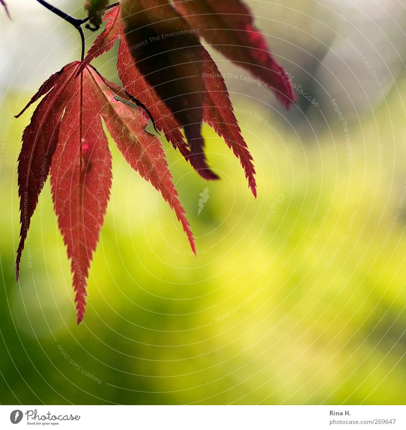 Nature Green Tree Red Plant Leaf Yellow Landscape Spring Garden Natural Illuminate Japan maple tree