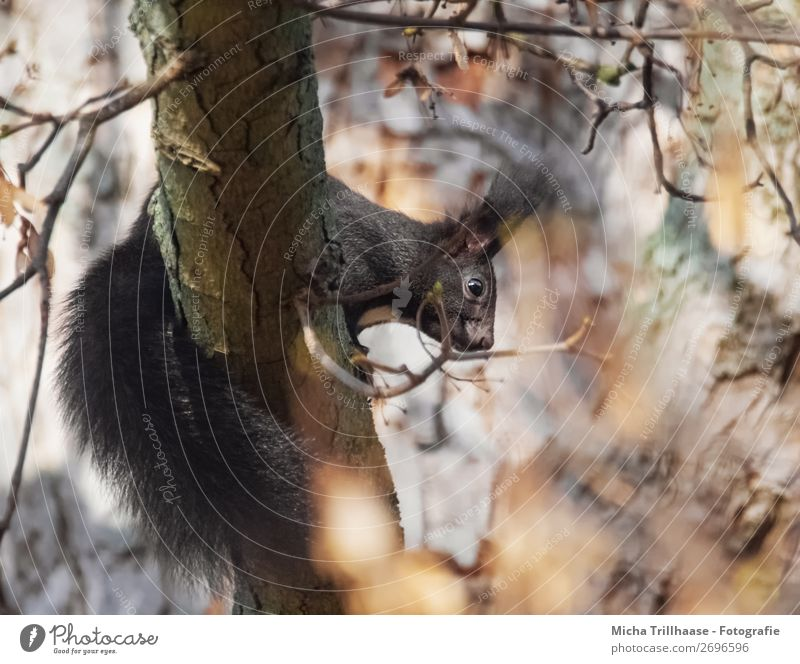 Squirrels in the autumn tree Nature Animal Sunlight Beautiful weather Tree Leaf Forest Wild animal Animal face Pelt Eyes Tails Ear 1 Observe Discover Looking