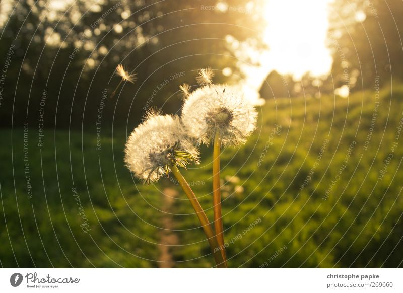 Fairytale dandelion Environment Nature Plant Sun Sunlight Spring Summer Autumn Beautiful weather Flying Faded Esthetic Fantastic Dandelion Colour photo