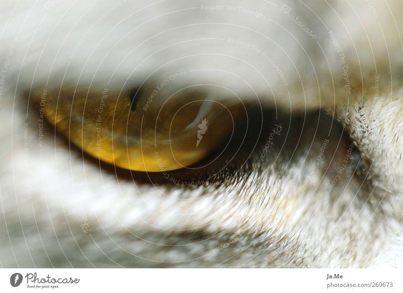 Cat Animal Yellow Gray Animal face Cat eyes
