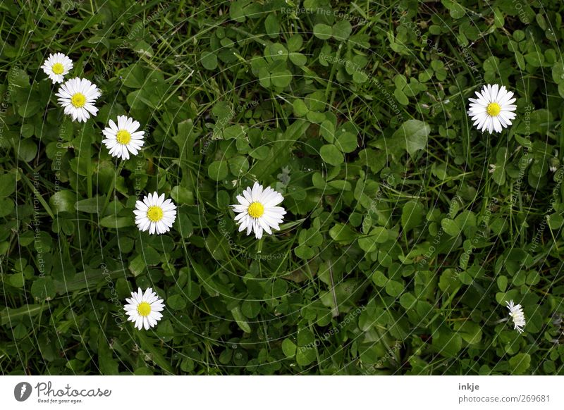 The 7 1/2 Dwarves Nature Plant Animal Summer Grass Blossom Daisy Clover Meadow Blossoming Growth Natural Cute Juicy Beautiful Green White Idyll Network
