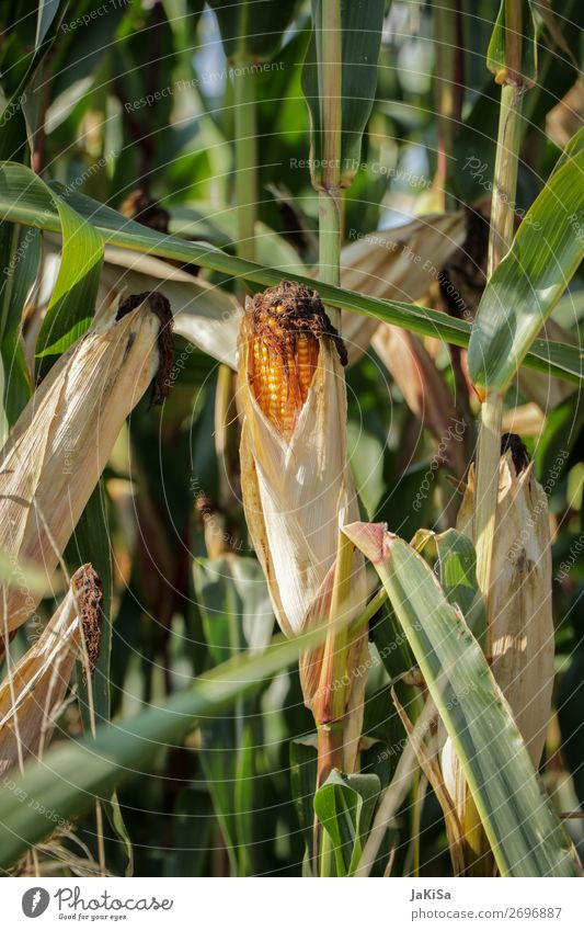 Nature Landscape Food Eating Yellow Environment Vegetable Agriculture Agricultural crop Maize Maize field Corn cob