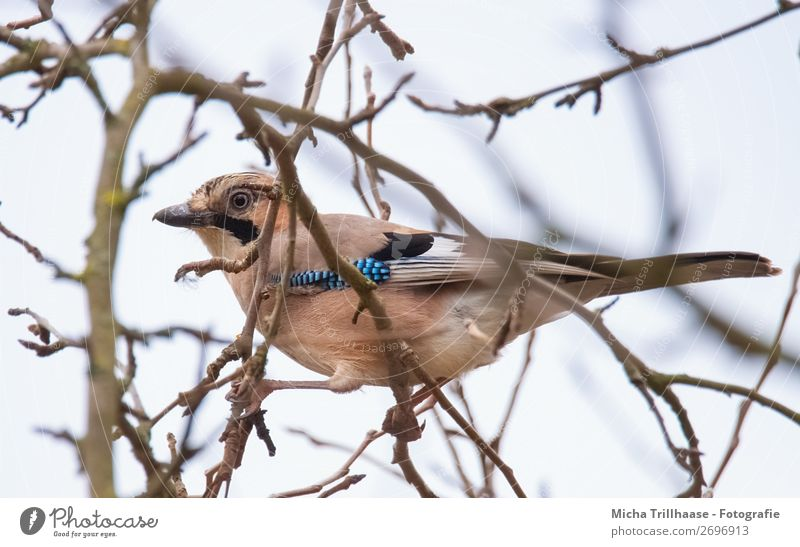 Waxy Jay Nature Animal Sky Sunlight Beautiful weather Tree Branch Wild animal Bird Animal face Wing Claw Beak Feather Eyes 1 Observe To hold on Looking Sit Near