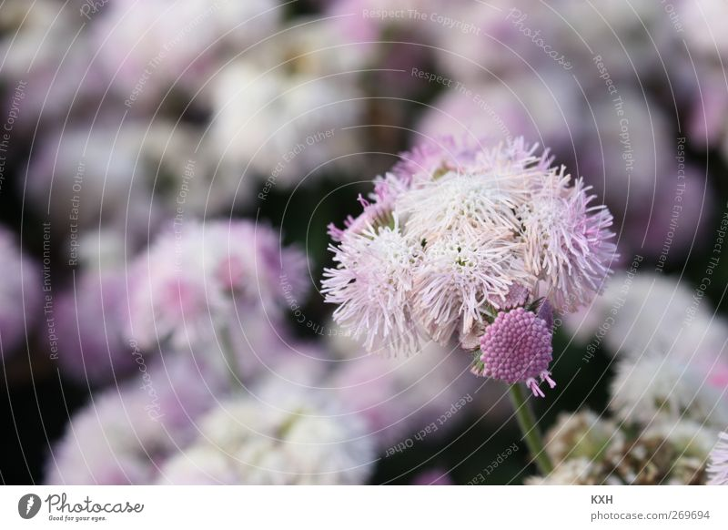 Flower in sea of flowers Nature Plant Spring Blossom Garden Park Violet Pink Dream Environment Colour photo Exterior shot Close-up Deserted Morning