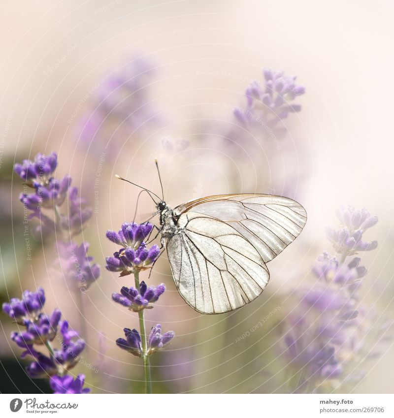 Summer lightness Nature Flower Blossom Lavender Medicinal plant Flowering plants Garden Flowerbed Butterfly Wing tree white butterfly Insect Breathe Fragrance