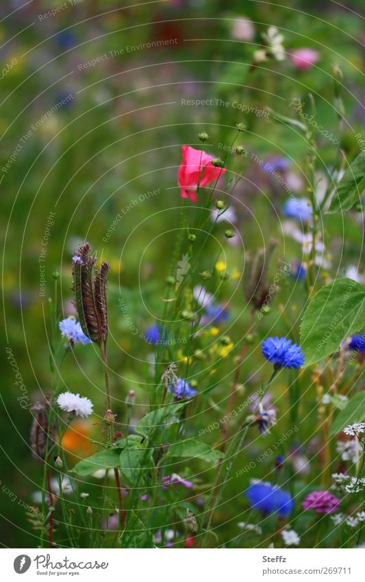 Nature Plant Summer Flower Environment Meadow Garden Blossom Beautiful weather Idyll Simple Blossoming Poppy Fragrance Flower meadow Summery