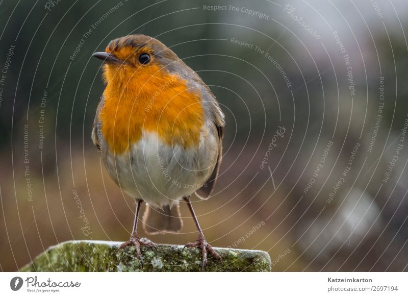Cheeky-faced robin Hiking Nature Landscape Climate Rain Garden Park Meadow Forest Deserted Animal Wild animal Bird Wing 1 Observe Flying Authentic Brash Free