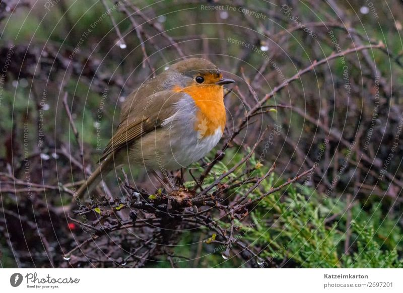 Robin in the rain Nature Spring Bad weather Rain Garden Park Forest Animal Wild animal Bird Wing 1 Observe Looking Hiking Authentic Curiosity Cute Contentment