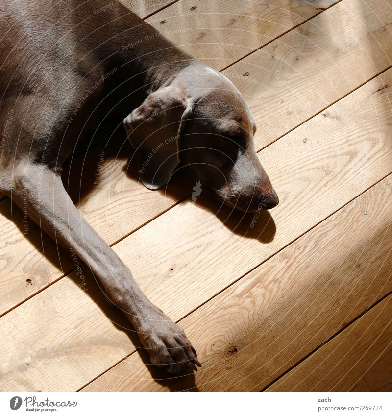 Dog Animal Relaxation Brown Contentment Lie Sleep Pelt Fatigue Pet Paw Hallway Comfortable Indifferent Goof off Floorboards