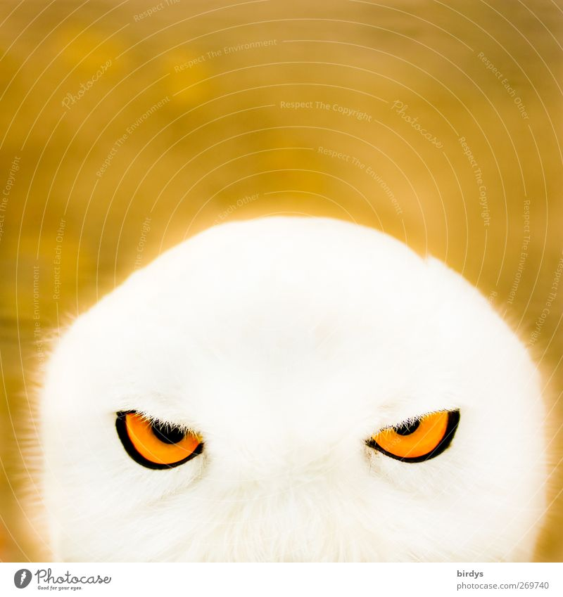 Portrait of a snowy owl face with bright orange eyes, looking into the camera Owl eyes Owl birds glowing eyes Snowy owl Animal Illuminate Animal portrait