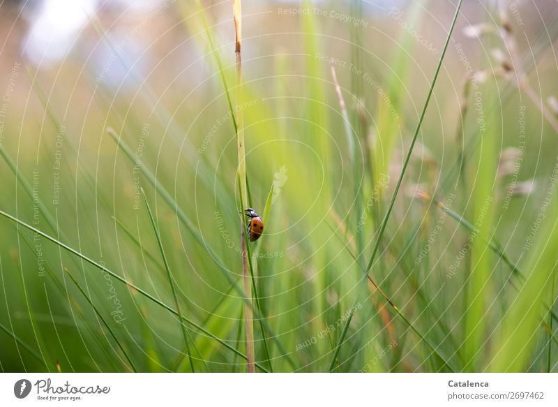 steep up Nature Plant Animal Summer Grass Leaf Blade of grass Garden Meadow Beetle Ladybird Insect 1 Crawl Beautiful Small Brown Green Red Black White Moody