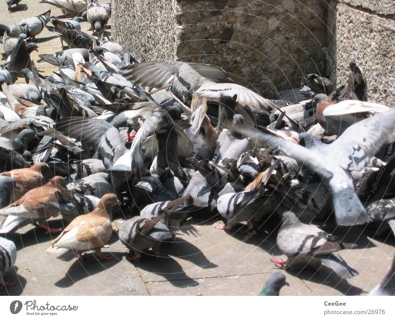 pigeon pile Pigeon To feed Heap Barcelona Spain Bird Ramblas Flying Argument Fight