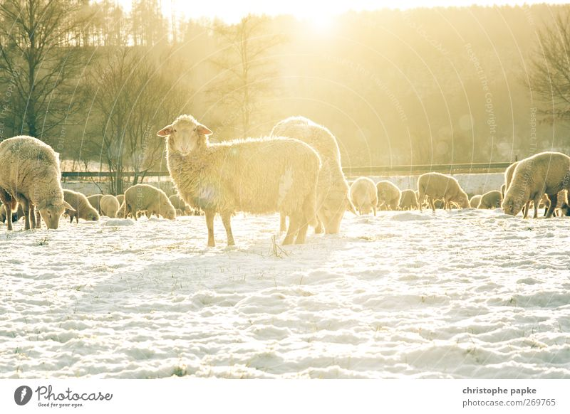 Sheep cold Agriculture Forestry Winter Beautiful weather Snow Meadow Field Animal Farm animal Pelt Flock Group of animals Herd Freeze Looking Stand Bright Cold